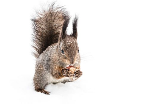 grey squirrels 520x350 - Why Are Grey Squirrels Considered a Pest?